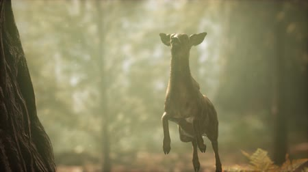 cervus elaphus : extreme slow motion deer jump in pine forest