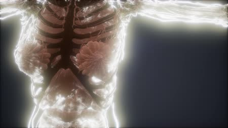 neuronen : Colorful Human Body animation showing bones and organs