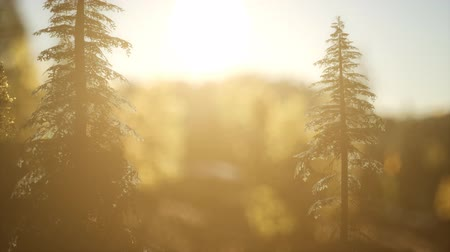 sun beam : Pine forest on sunrise with warm sunbeams