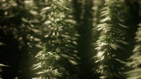 marijuana : Thickets of marijuana plant on the field