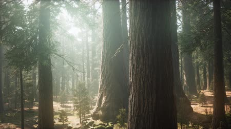 subvention : Sunrise in the Sequoias, General Grant Grove, Sequoia National Park
