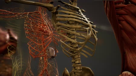 ribs : Animated 3D human anatomy illustration Stock Footage