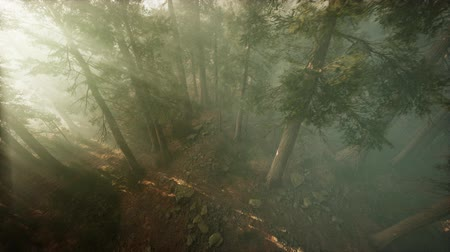 наивысший : Drone breaking through the fog to show redwood and pine tree Стоковые видеозаписи