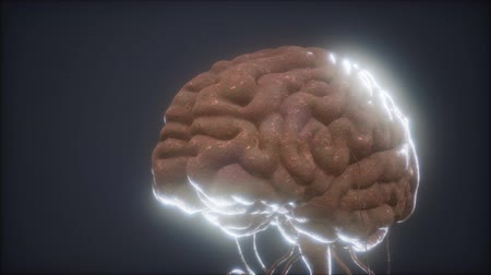 cervelet : animated model of human brain