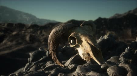 defunto : European mouflon ram skull in natural conditions in rocky mountains