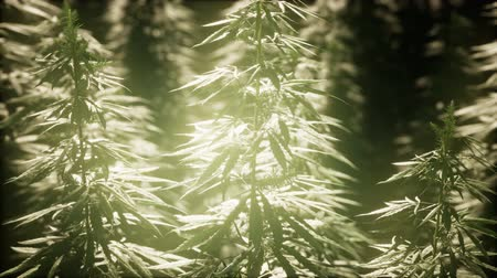 kábító : Thickets of marijuana plant on the field