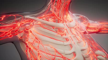 žíly : Blood Vessels of Human Body