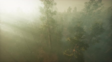 helikopter : Drone breaking through the fog to show redwood and pine tree Stock mozgókép