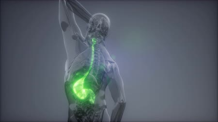 inflamed : Human Stomach Radiology Exam Stock Footage
