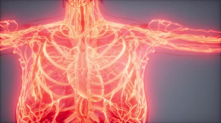 vanne : Blood Vessels of Human Body