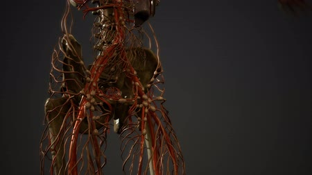 海賊 : Human body blood vessel anatomy 動画素材