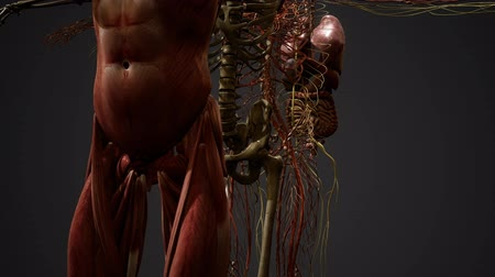 колено : Animated 3D human anatomy illustration Стоковые видеозаписи