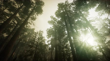 úttest : Redwood Forest Foggy Sunset Scenery Stock mozgókép