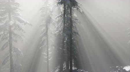 szron : Misty Fog in Pine Forest on Mountain Slopes