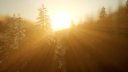 sprookjesbos : Pine forest on sunrise with warm sunbeams