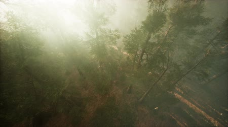 gigante : Drone breaking through the fog to show redwood and pine tree Stock Footage