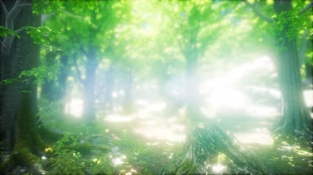 освещенный : Sunbeams Shining through Natural Forest of Beech Trees
