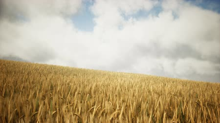 corn crop : Ripe yellow rye field under beautiful summer sunset sky with clouds