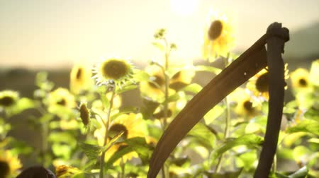 ancinho : old vintage style scythe and sunflower field