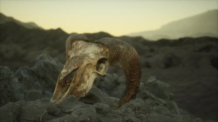 paroh : European mouflon ram skull in natural conditions in rocky mountains
