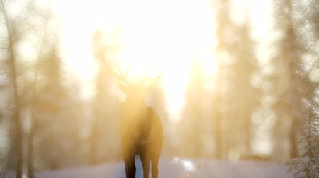 geyik : Proud Noble Deer Male in Winter Snow Forest Stok Video