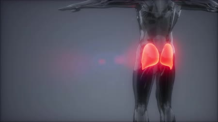 liste : gluteus maximus - leg muscles anatomy animation