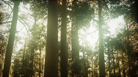 raios de sol : hyperlapse in sequoia forest from sunrise