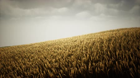 자연 : Dark stormy clouds over wheat field