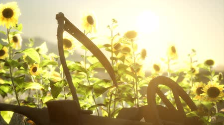 hay fields : old vintage style scythe and sunflower field