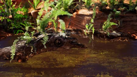 brezilya : tropical golden pond with rocks and green plants