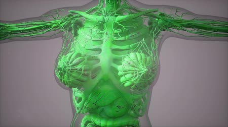 organizma : model showing anatomy of human body illustration