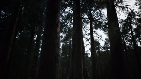 gigante : Giant Sequoia Trees at summertime in Sequoia National Park, California Stock Footage