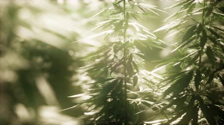 tabac : Thickets of marijuana plant on the field