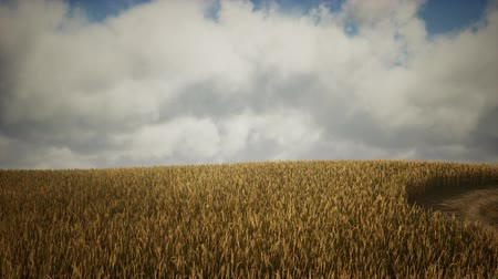 sementes : Ripe yellow rye field under beautiful summer sunset sky with clouds