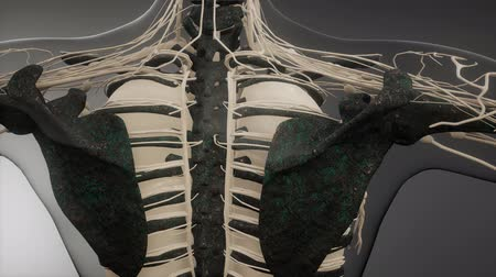 dech : Transparent Human Body with Visible Bones