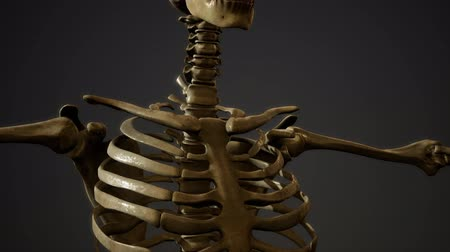 bacino : bones of the Human skeleton