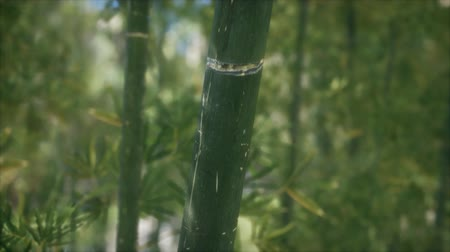 шуй : Green Bamboo trees forest background