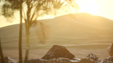 algeria : palms in desert at sunset