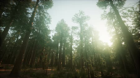 ekosistem : Redwood Forest Foggy Sunset Scenery Stok Video