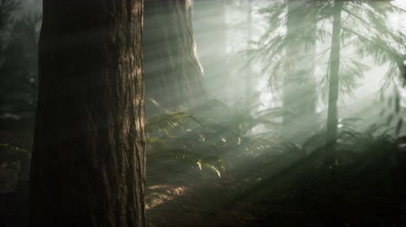 silvicultura : Morning with Fog in Sequoia National Park