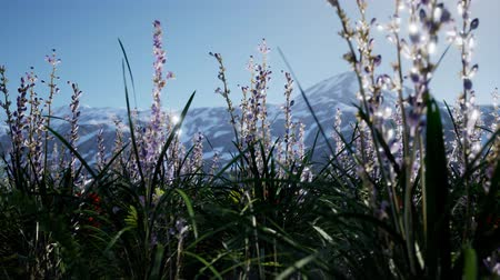 levandule : Lavender field with blue sky and mountain cover with snow