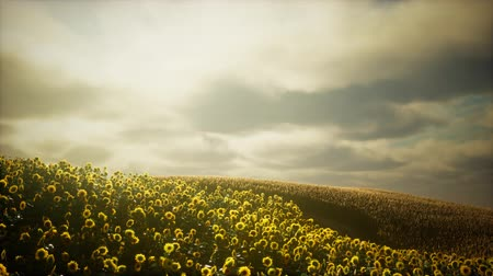 sunflower : Beautiful sunflowers and clouds in a Texas sunset Stock Footage