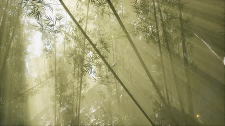 дзен : asian bamboo forest with morning fog weather