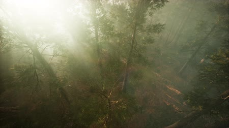 Drone breaking through the fog to show redwood and pine tree Стоковые видеозаписи