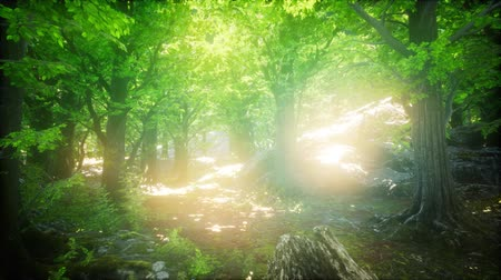raios de sol : Sunbeams Shining through Natural Forest of Beech Trees