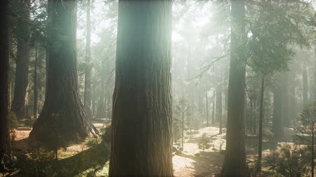 mohás : Sunrise in the Sequoias, General Grant Grove, Sequoia National Park