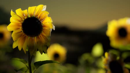 brilhando : Sunflower field on a warm summer evening