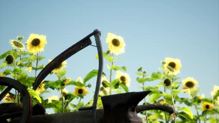 old vintage style scythe and sunflower field