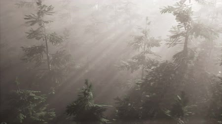 ködös : aerial sunrays in forest with fog