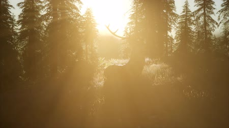 geyik : Deer Male in Forest at Sunset